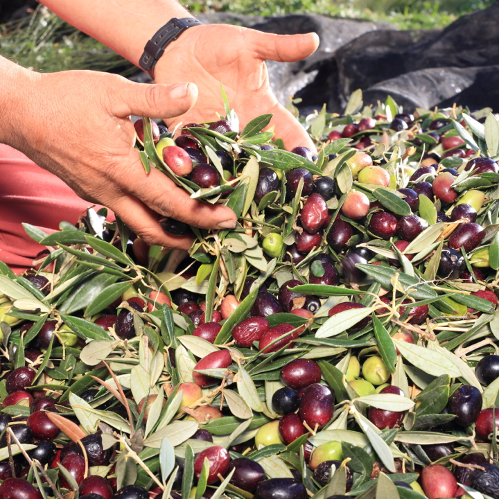 Hands holding olive oil leaves and olive oils from Bertolli olive oil farm in Italy. Bertolli Organic Olive Oil.