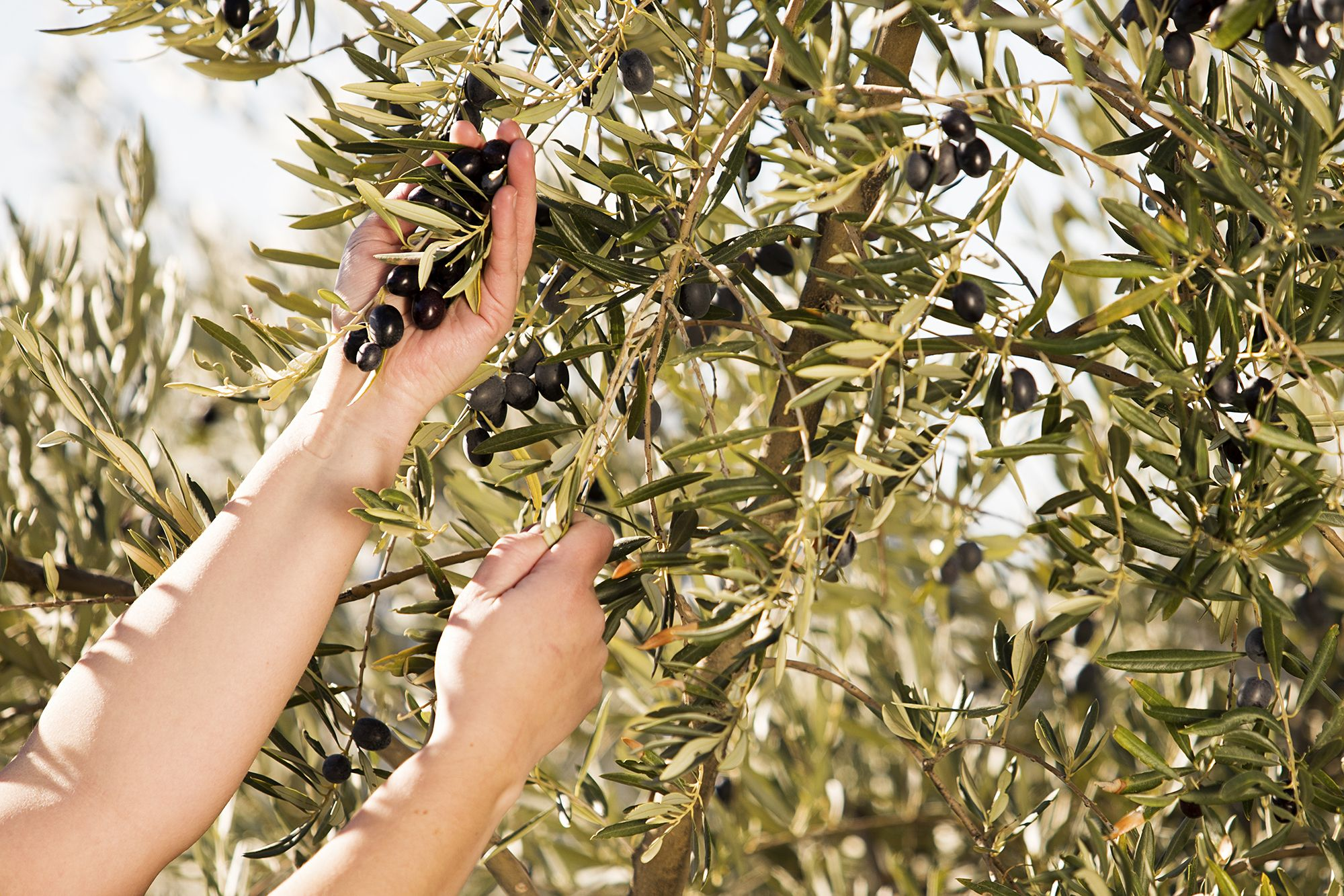 Hands with Bertolli olive oilves