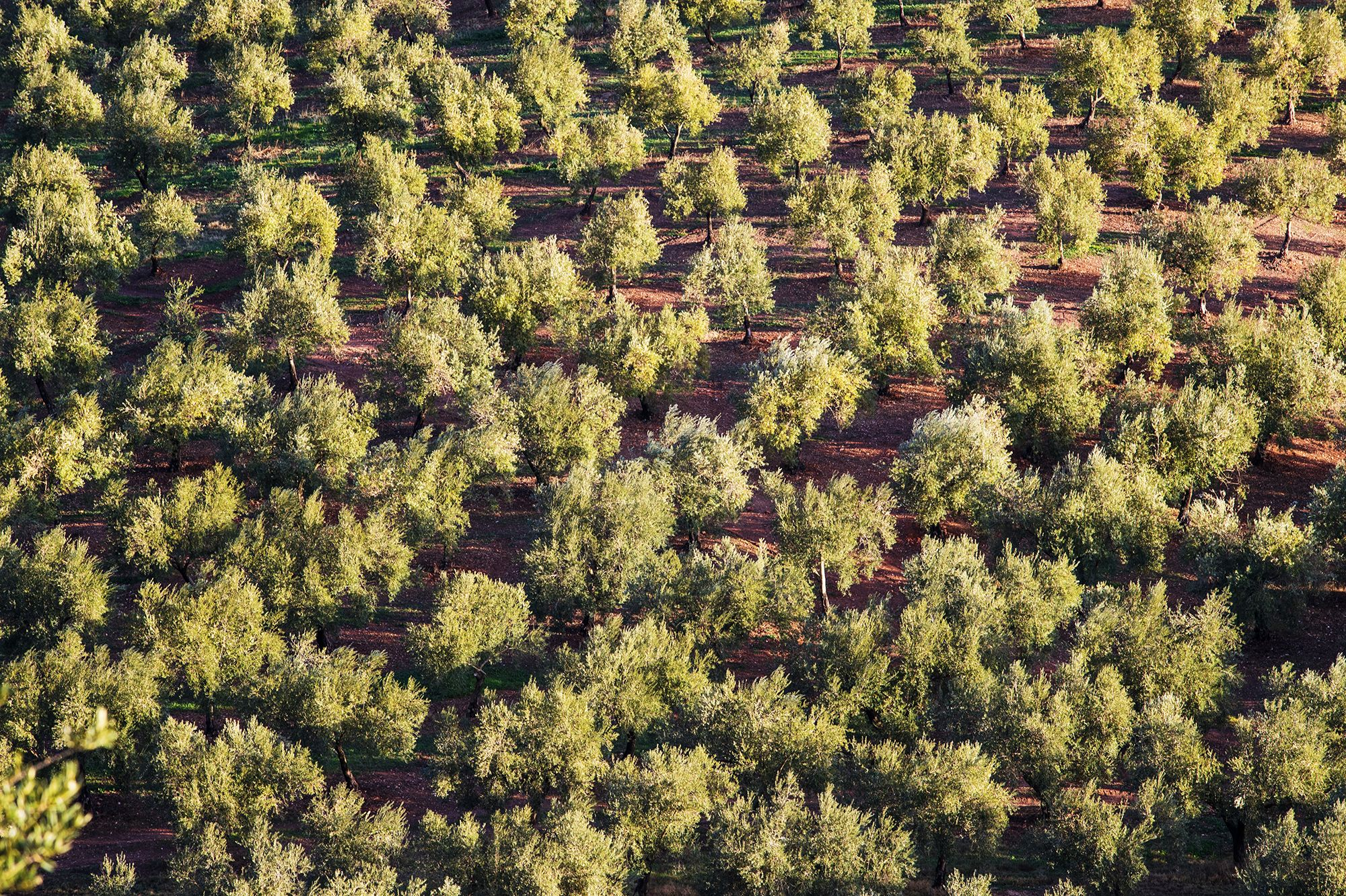 Plantation of olive oil trees in Italy. Bertolli organic olive oil.