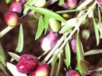 Fresh olives growing on an olive oil tree