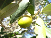 Fresh olive growing on an olive oil tree
