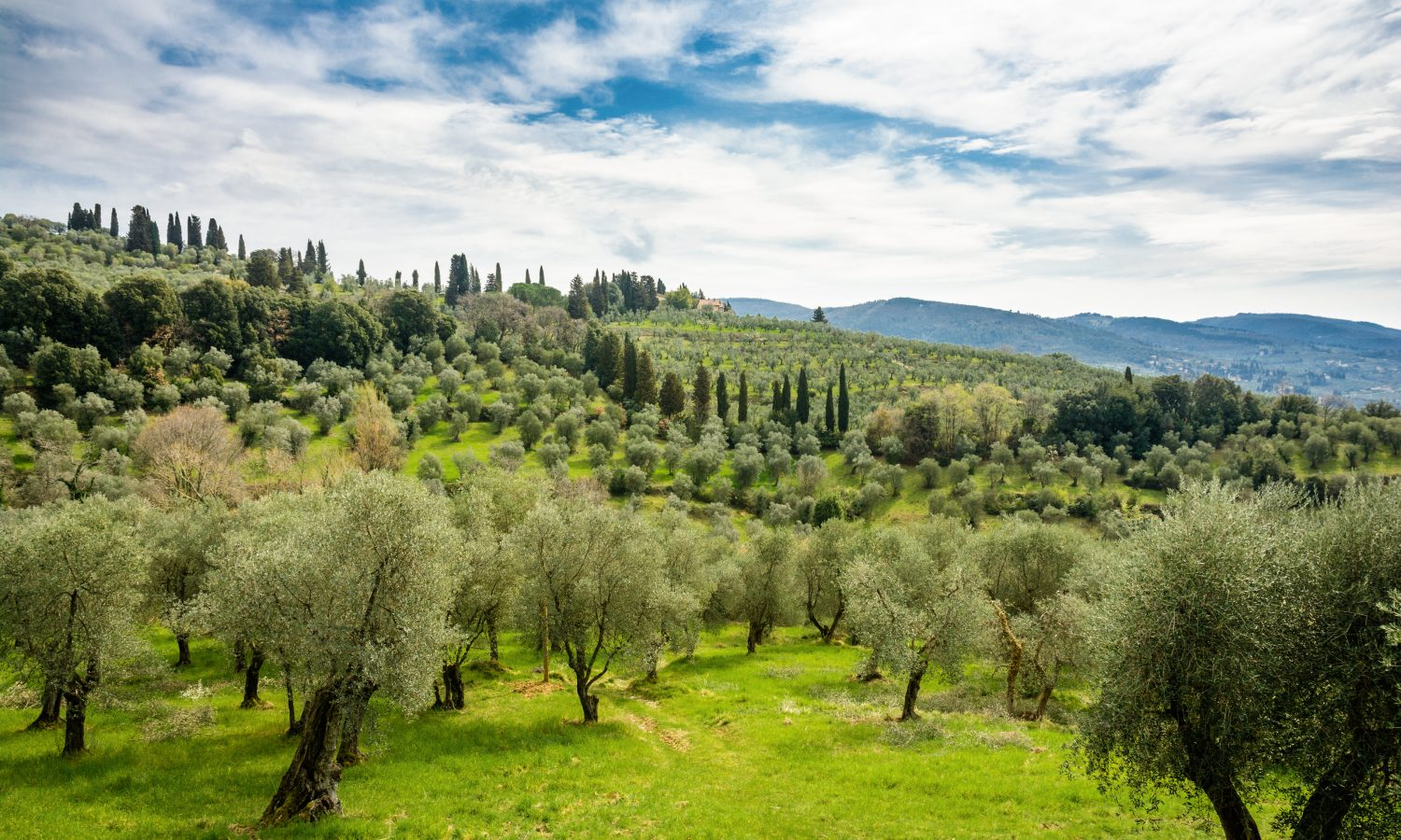 A field Olive Oil Trees