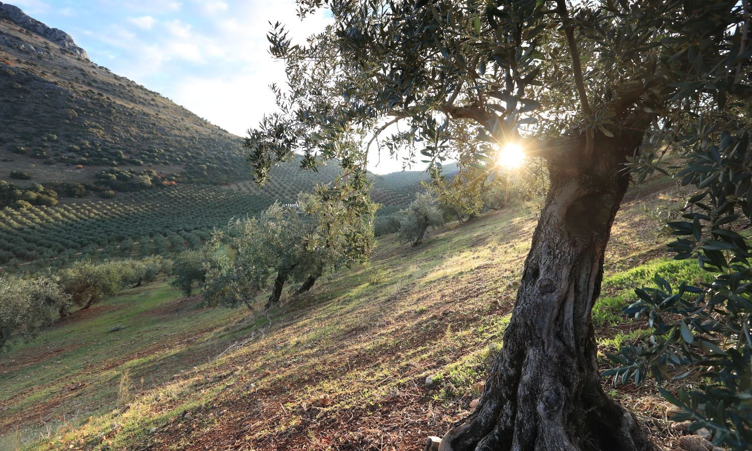 olive oil tree representing high quality olive oil. Bertolli