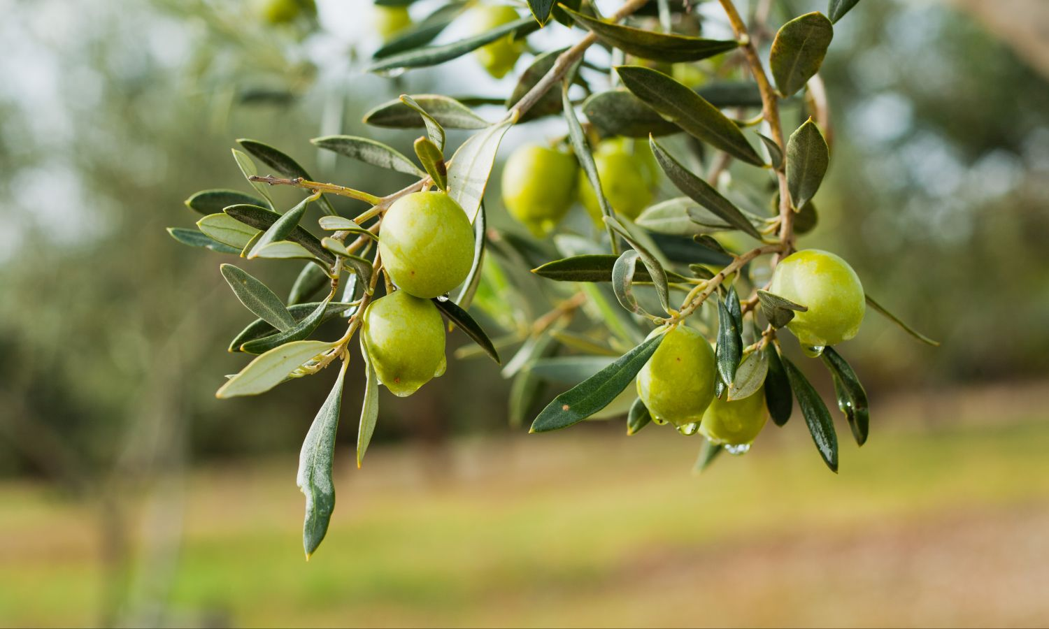 Green fresh olives representing Bertolli quality olive oil