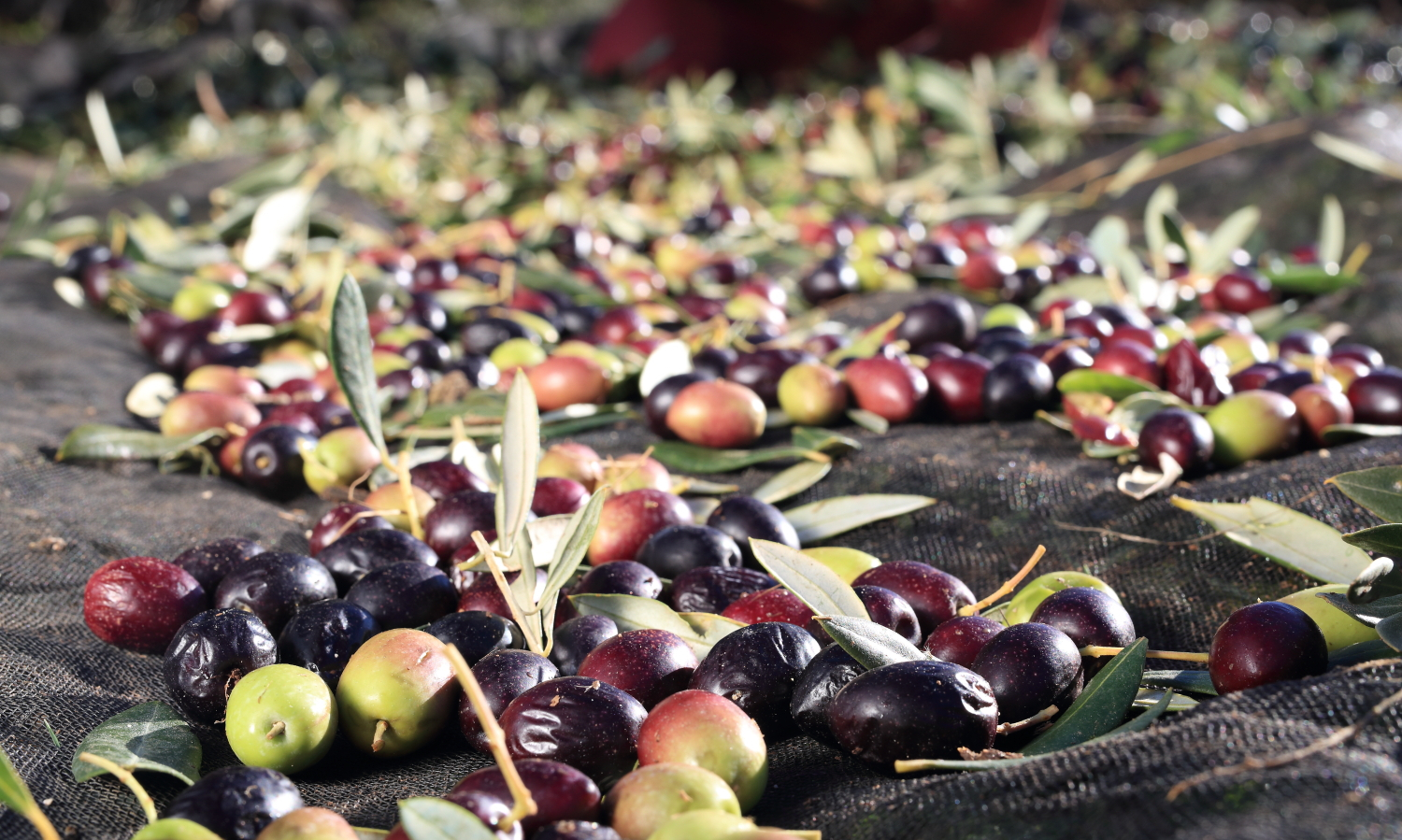 Fresh olives representing low olive oil acidity, Bertolli