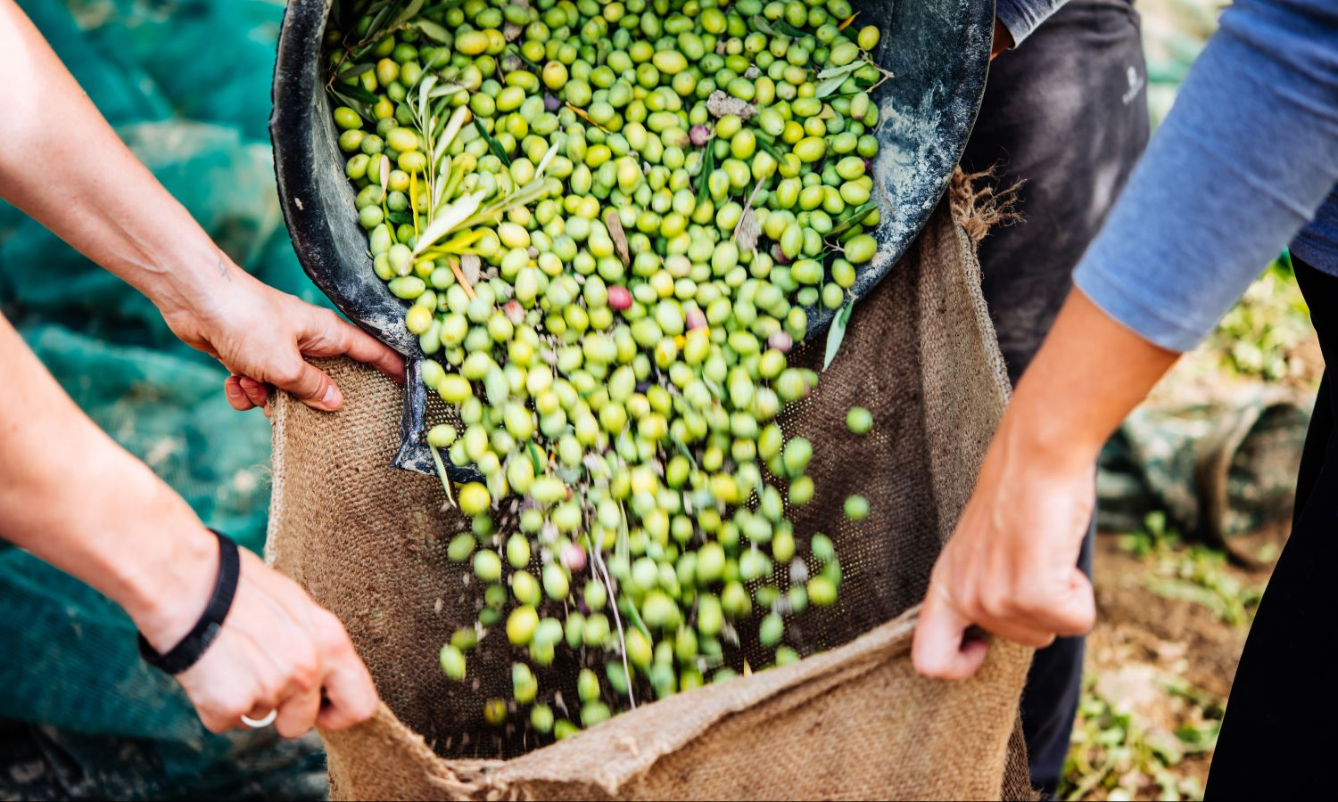 Green olives represent Bertolli high-quality olive oil