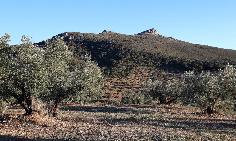 Olive tree representing Bertolli Quality olive oil
